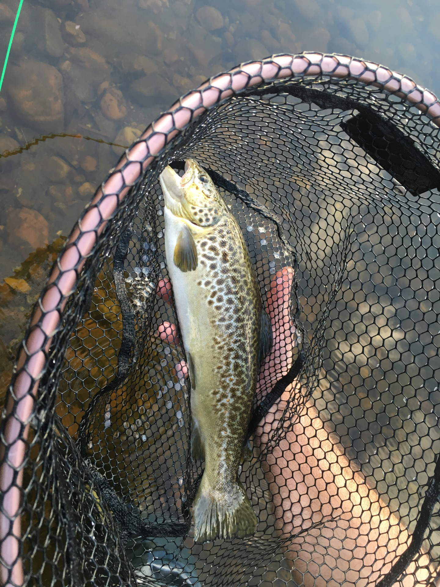 tiger trout in the Adirondacks
